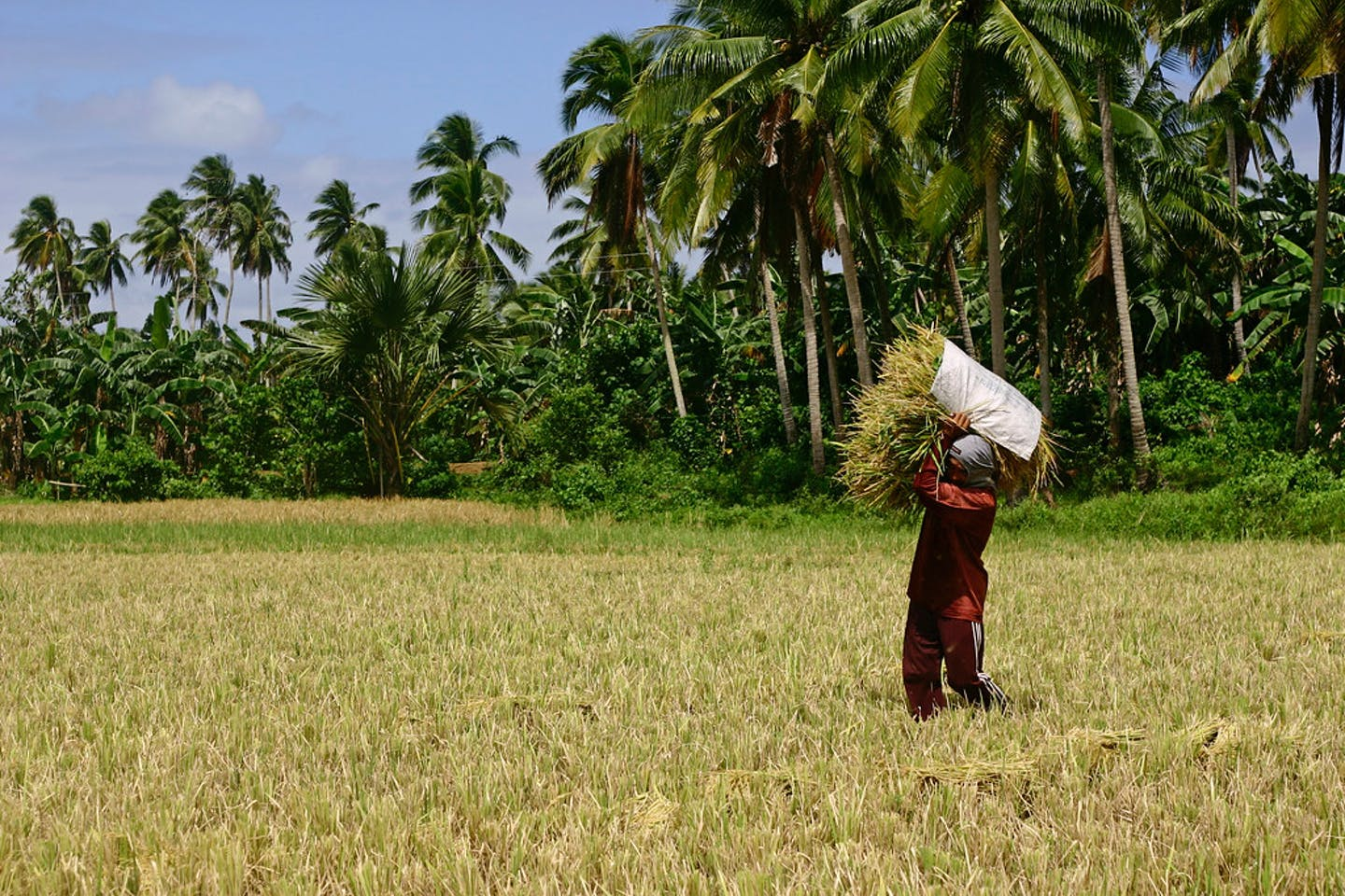 Man carrying bundle of rice in Quezon, Philippines