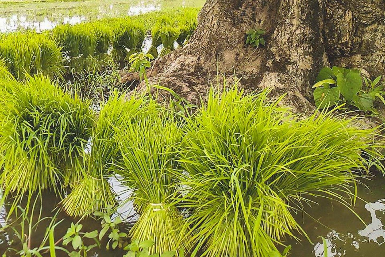IBIS Rice Cambodia