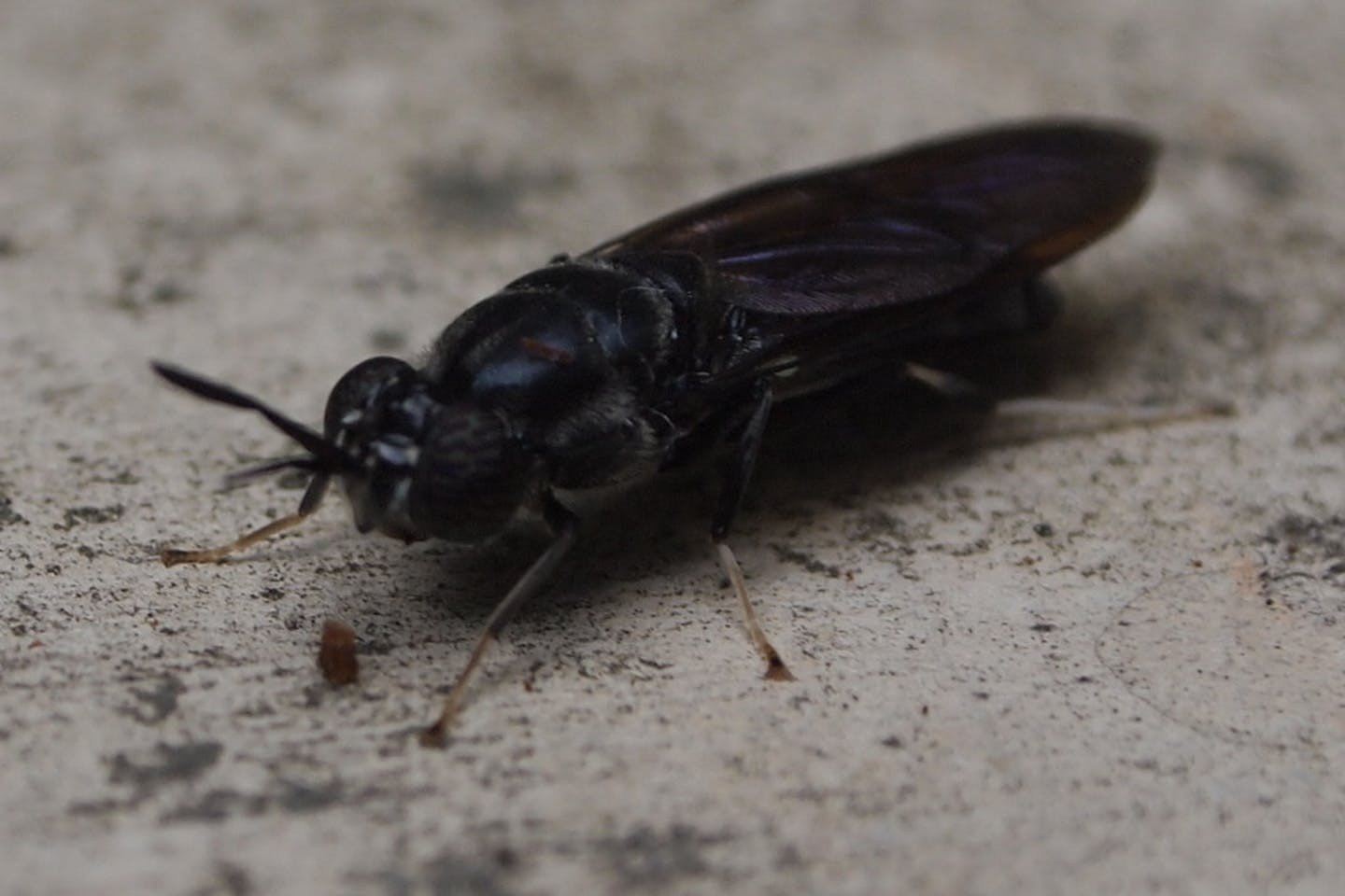 black soldier fly2