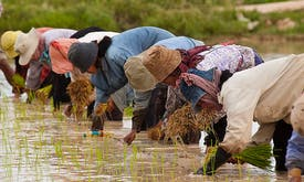 How canAsia's smallholder farmersendure bothclimate change and Covid-19?