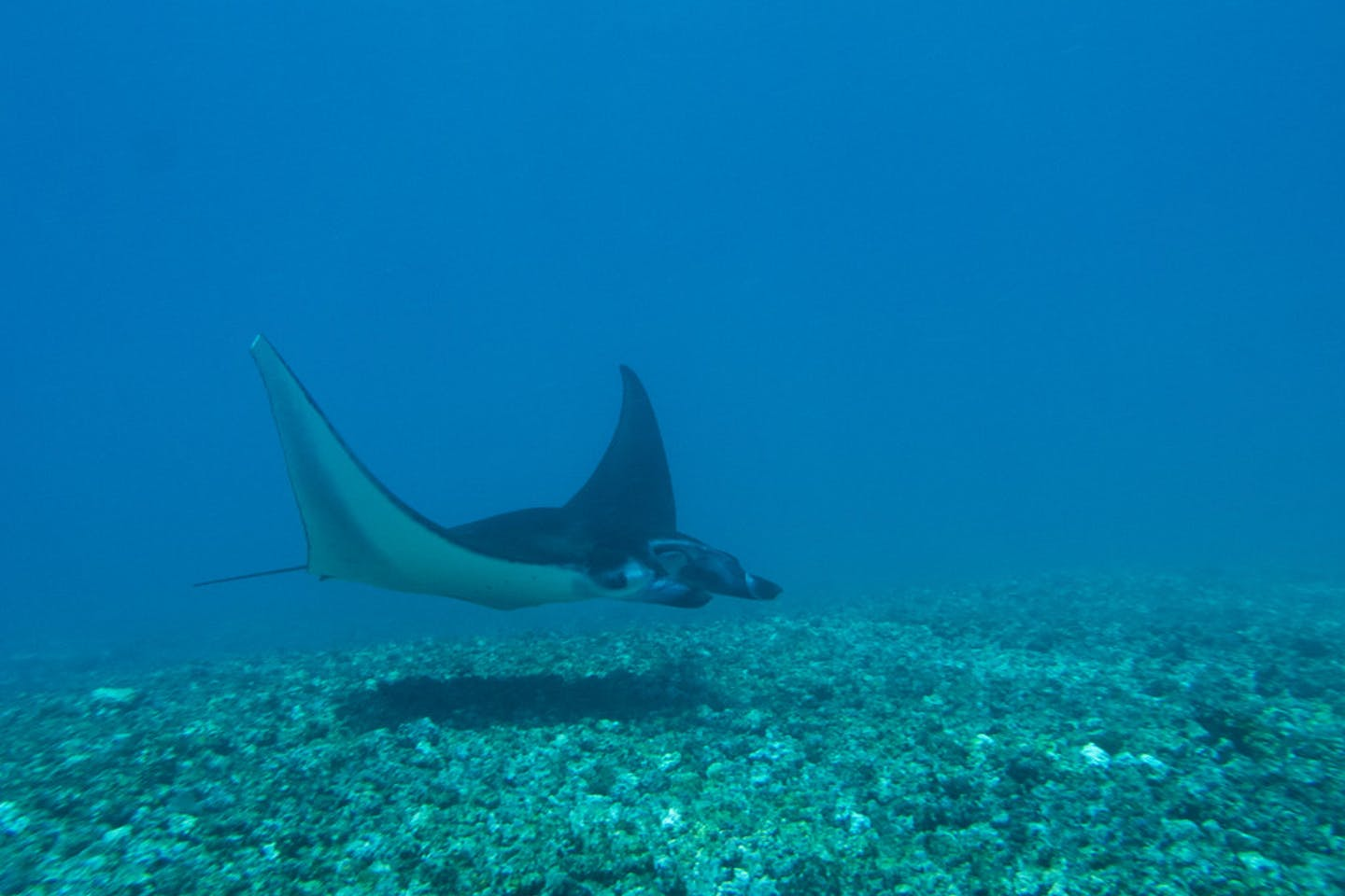 manta ray indonesia