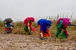 Women farmers in Sindh, Pakistan