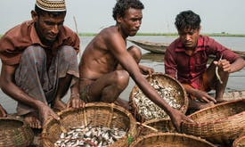 Bangladeshi fishers cannot find Hilsa in peak season