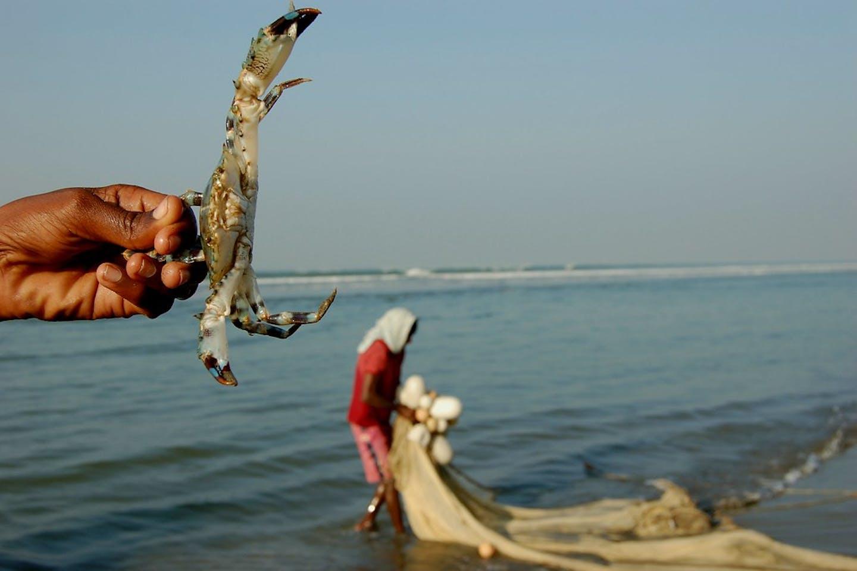crab harvesting bangladesh