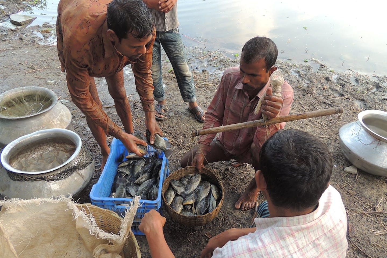 tilapia fish bangladesh