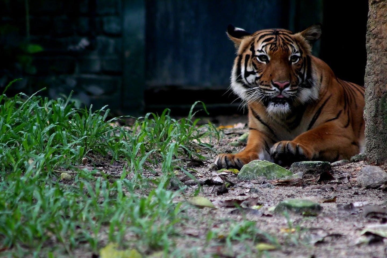 Tiger in Selangor state, Malaysia