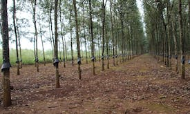 Can natural rubber be farmed sustainably in the time of Covid-19?