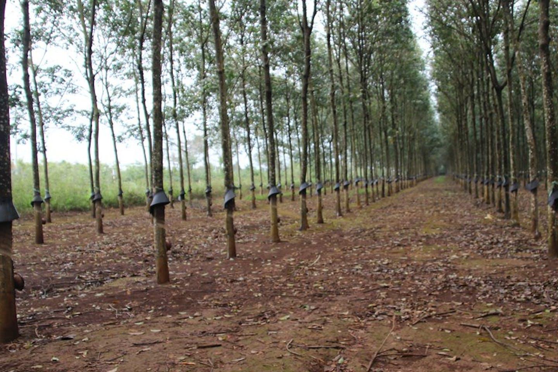 A rubber tree plantation.