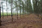 A rubber tree plantation.