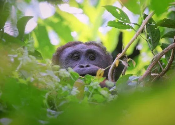 An orangutan in Bukit Piton Forest Reserve
