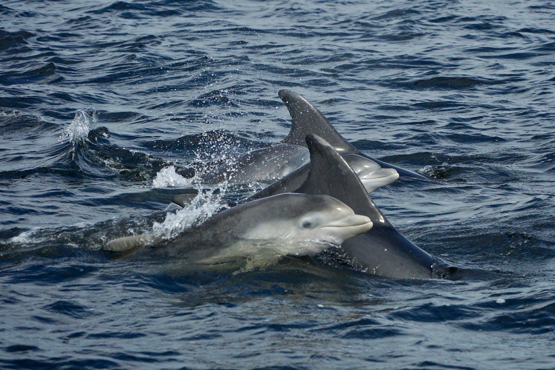 bottlenose dolphin scotland