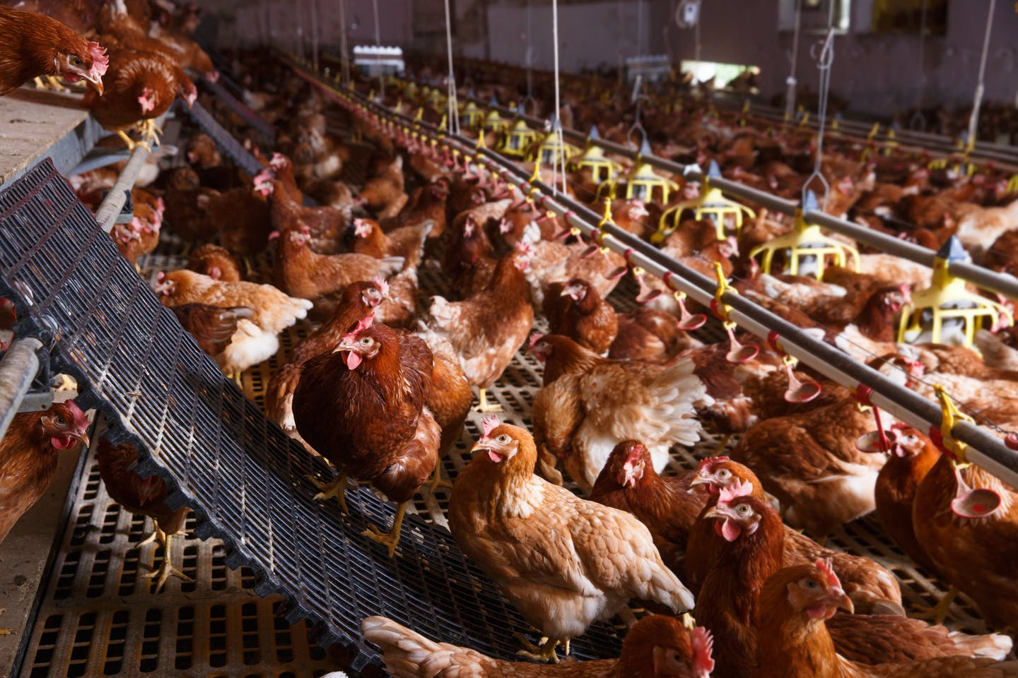 Cage free farm chickens