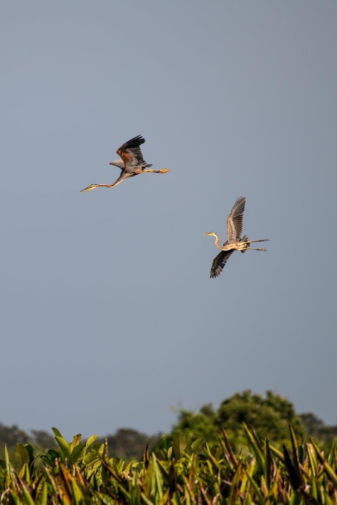 Cranes fly over the Kampar Peninsula and Padang Island in Riau Province