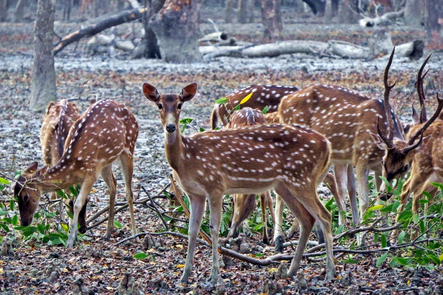 Spotted deer or chital in India's Sundarbans