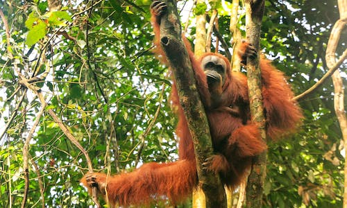 Indonesian court cancels dam project in last stronghold of tigers, orangutans