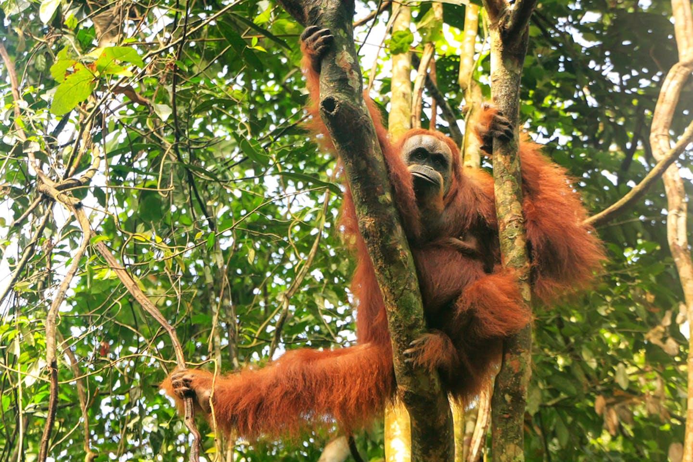 Orangutan Leuser ecosystem indonesia