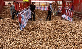 Dietary shift to potatoes could cut staple crop emissions in China by 25%