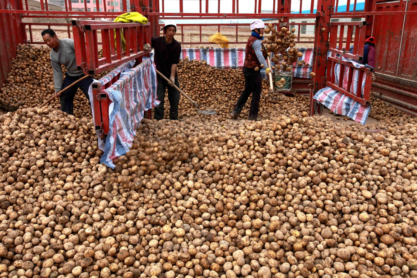 Farmers load potatoes they harvested in Huining county, China