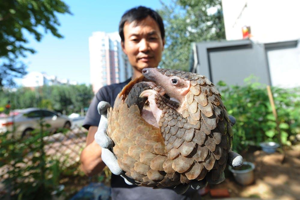 pangolin rescue shandong china
