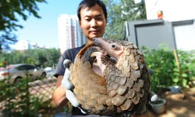 Investigators cast doubt on China's ban on the pangolin trade