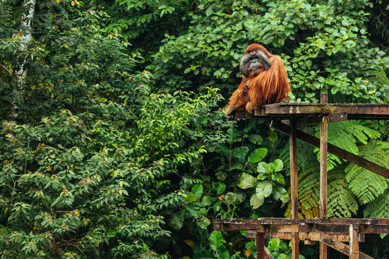 orangutan in Leuser Ecosystem in northern Sumatra