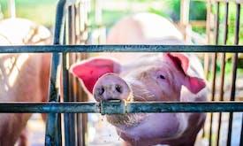 IFC has sunk US$1.8 billion into factory farming operations since 2010