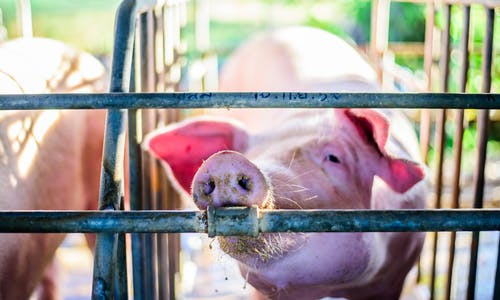 IFC has sunk US$1.8 billion into factory farming operations since 2010
