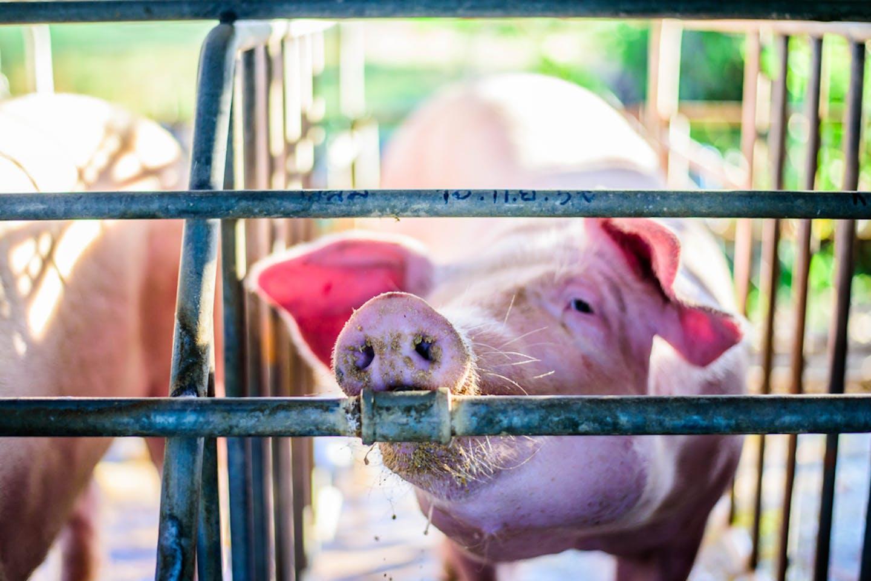 hog farm in Thailand