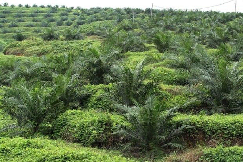 A palm oil plantation in Malaysia.