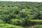 A palm oil plantation in Malaysia.