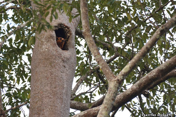A giant red flying squirrel peeks out of its home in a tree. Image: APRIL