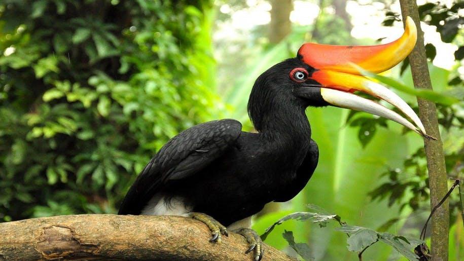Hornbill, Brunei
