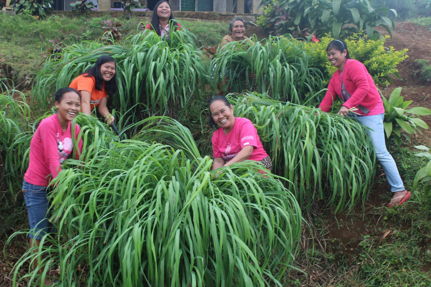 Women farmers harvesting citronella grass plants in Bukidnon in the Visayas region of the Philippines