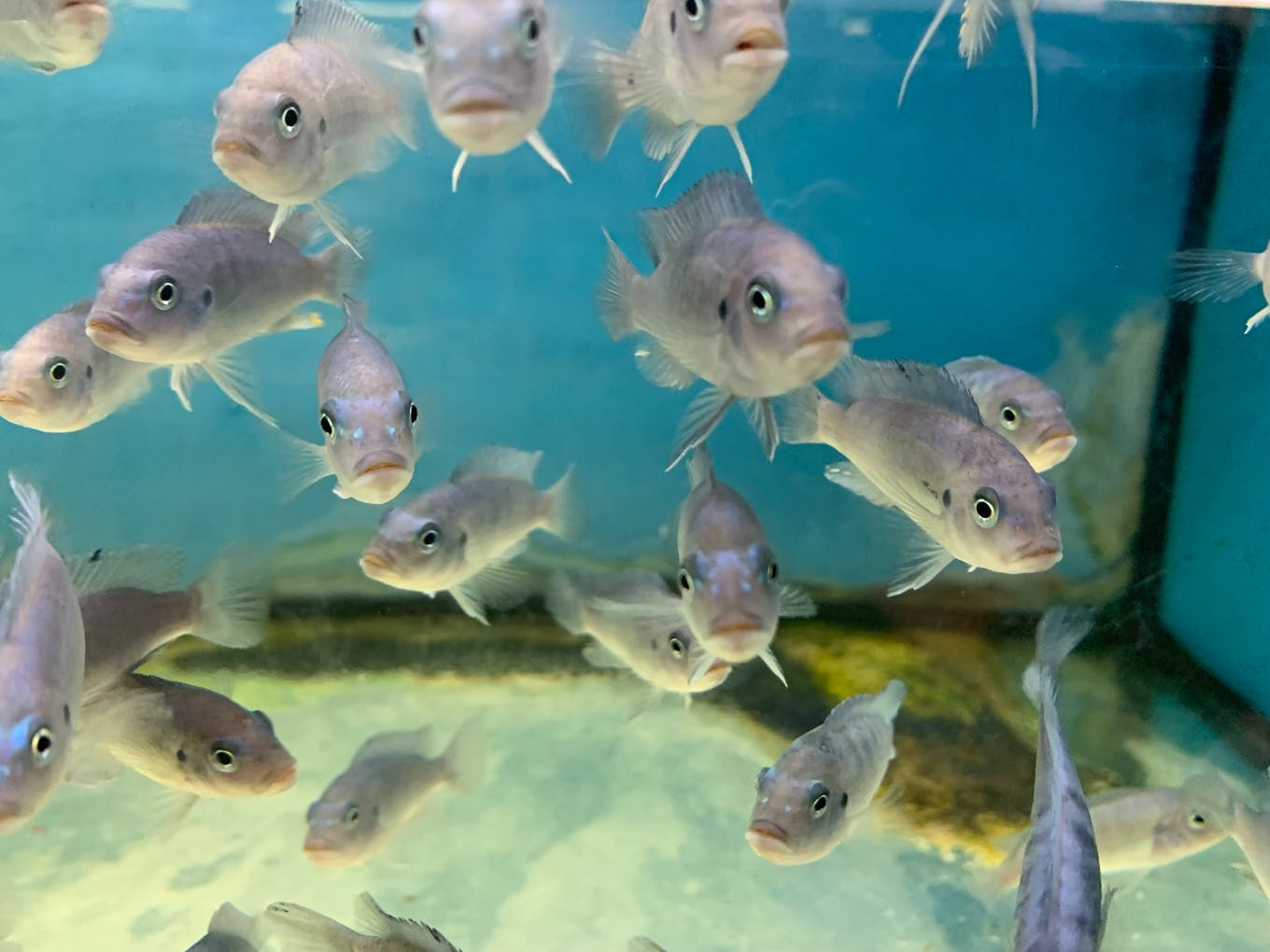 Fish crowd together in a tank with no enrichment in Singapore