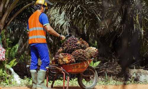 Dodging falling fruit and venomous snakes: A day in the life of an oil palm harvester