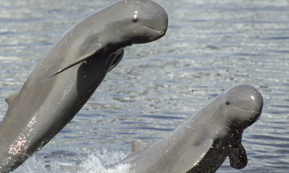 Irrawaddy dolphins in Cambodia. Image: WWF