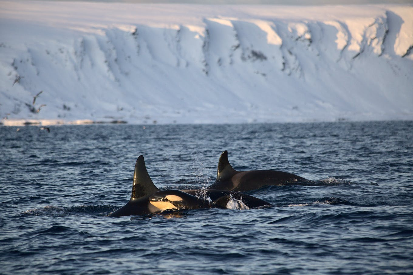 killerwhale and its calf