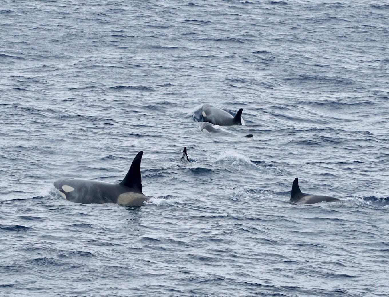 killer whale in antarctica