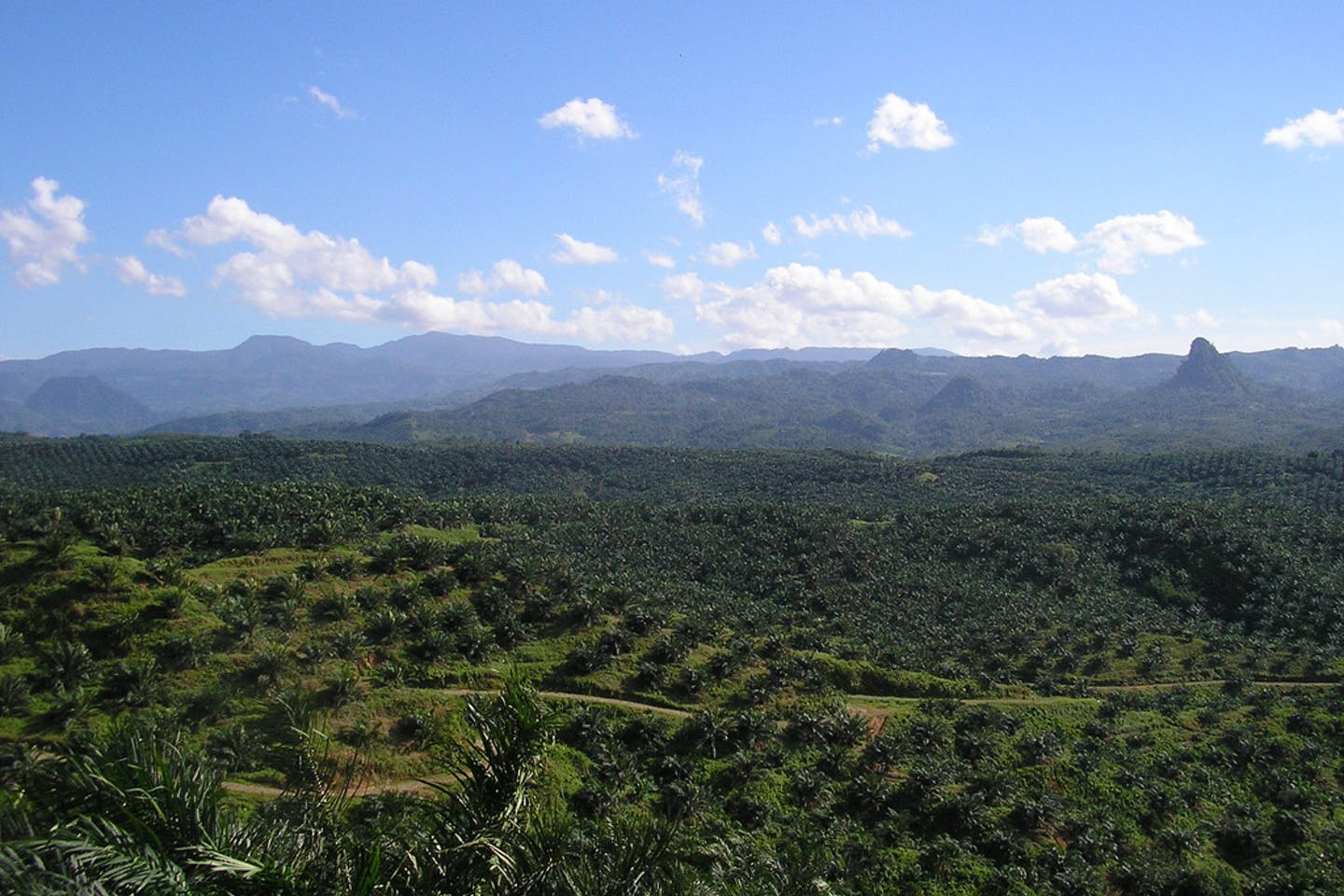 palm oil plantation in cigudeg