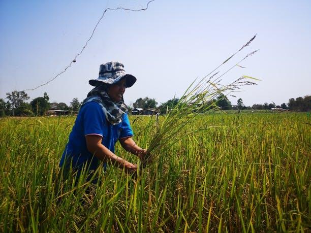 Olam farmer Udon
