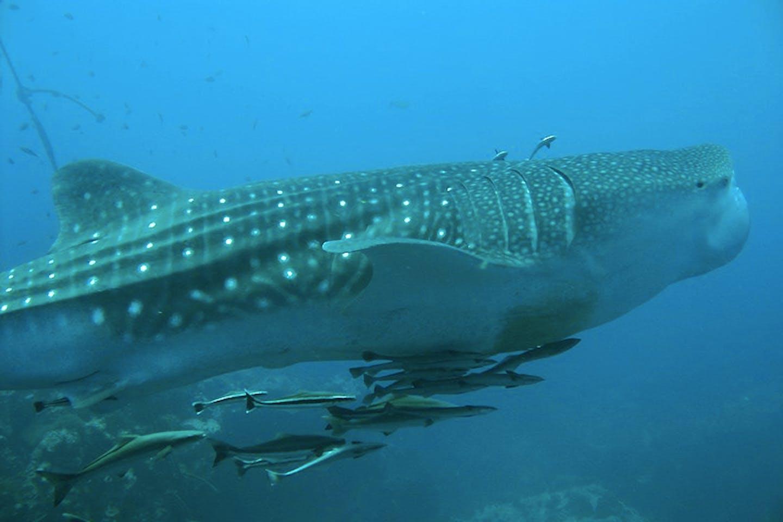butanding whaleshark