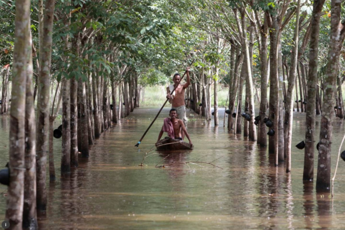 rubber tree farmer thailand