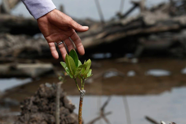 mangrove malaysia