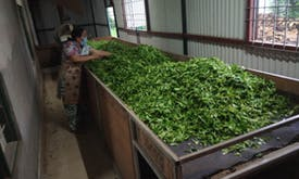 Climate change and Covid land Nepal's tea production in hot water