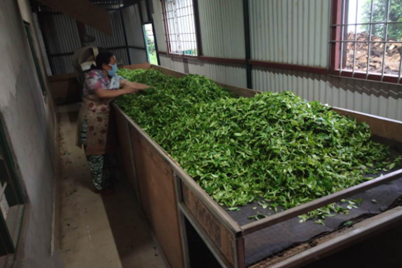 tea factory nepal