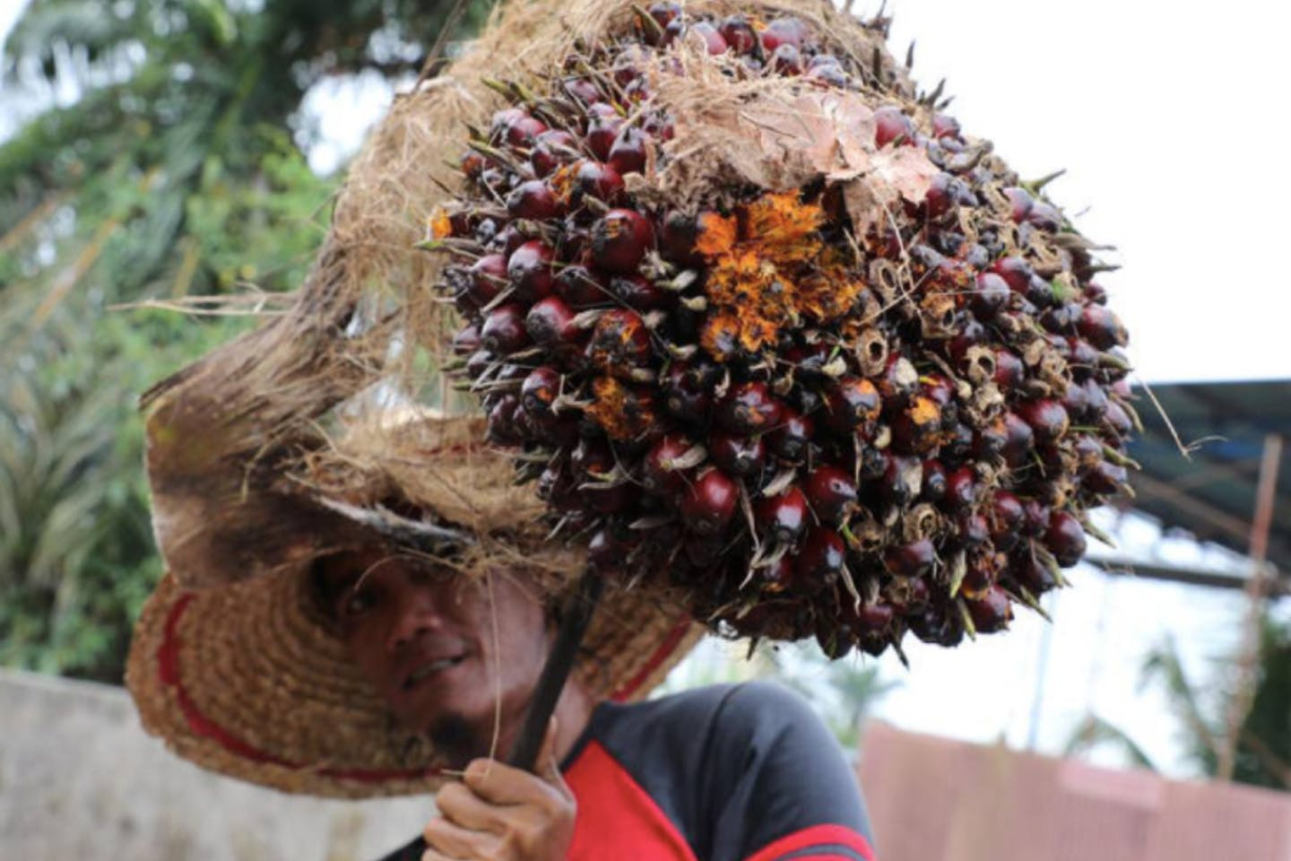 palm oil fruit bunch at a factory in Tanjung Karang, Malaysia