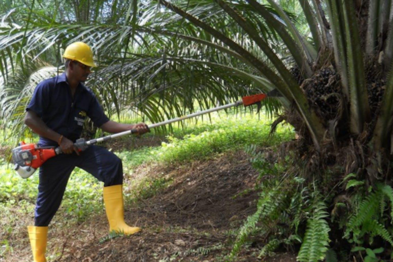 Oil palm worker in Sri Lanka