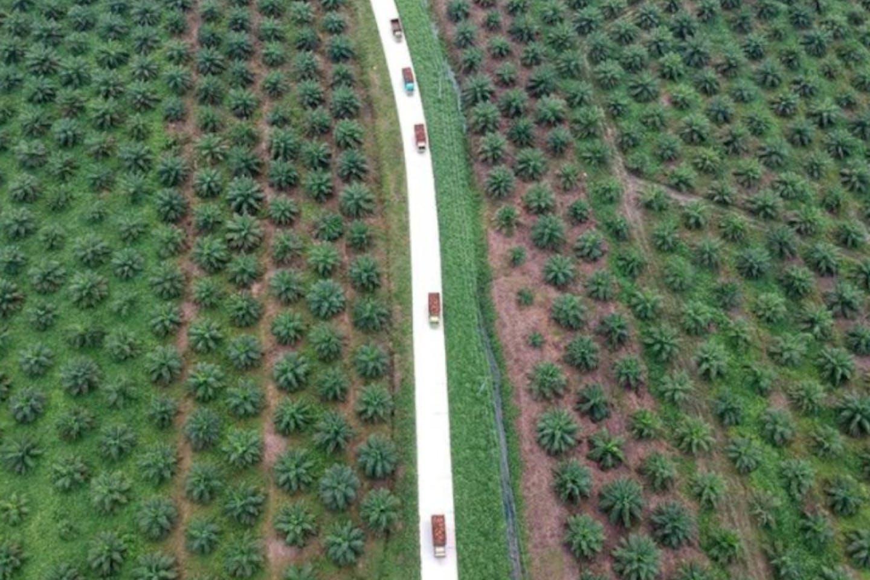 palm oil plantation in Batanghari, Jambi province, Sumatra island, Indonesia