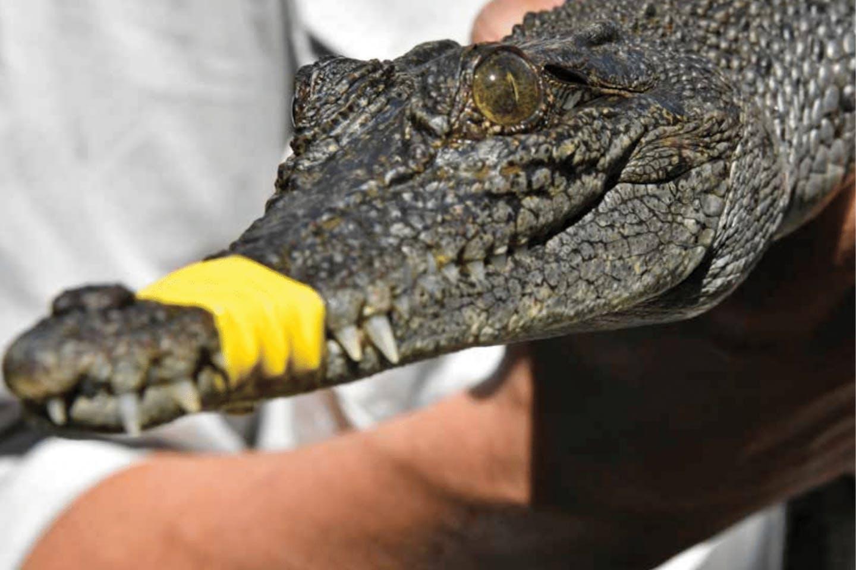 A crocodile with a bound jaw on a crocodile farm in Austraila.