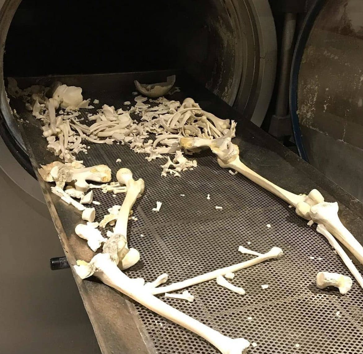 The bones that remain after a human body has been dissolved in an aquamation machine.